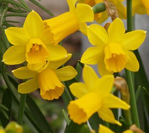 How To - Bulbs - How to Grow Daffodils Outside and Force ...