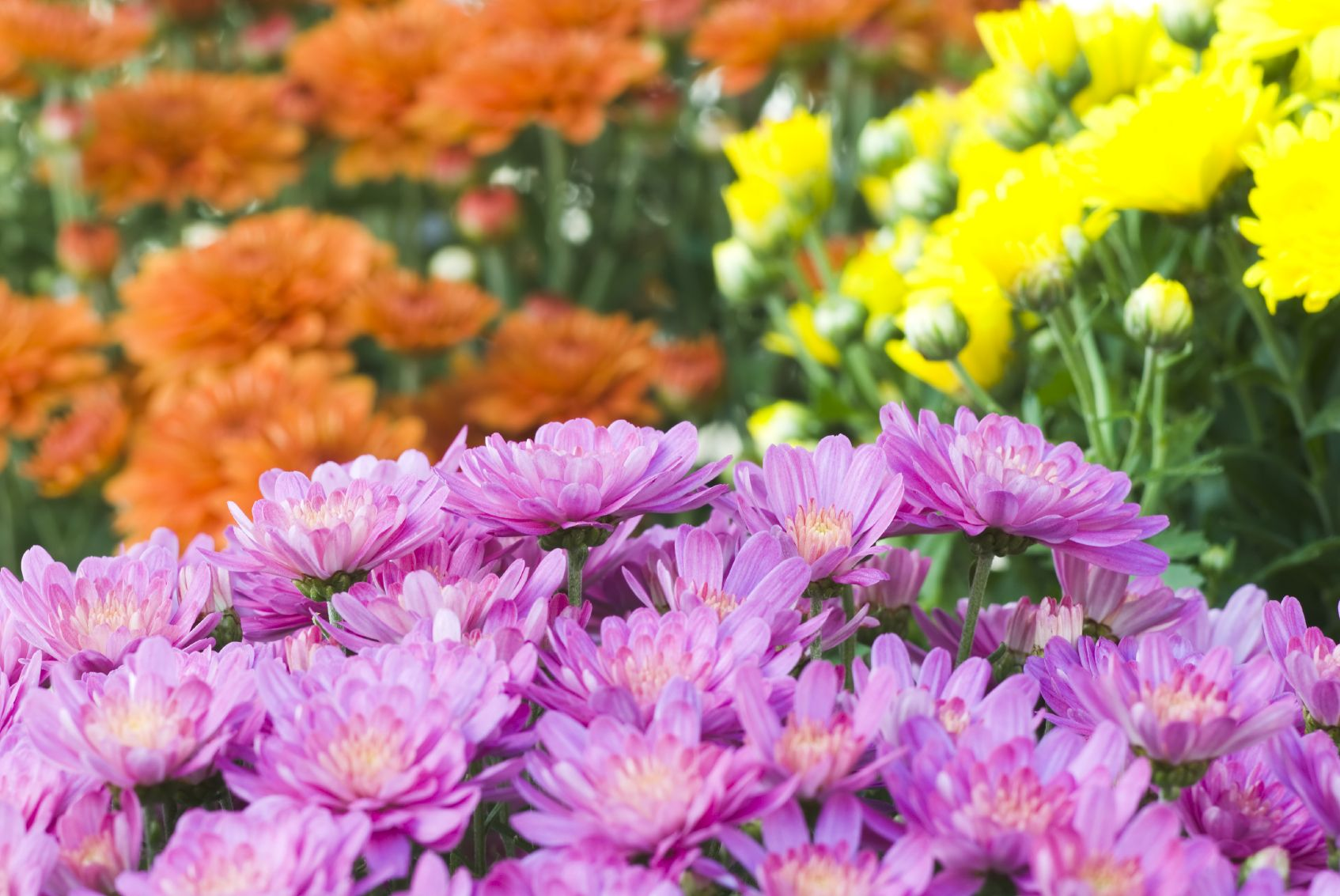 How To Fall A History Of Garden Chrysanthemum Flowers