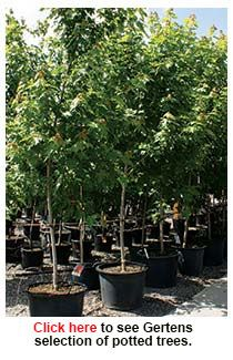 Gertens Potted Trees