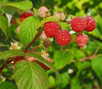 How To Grow Fruits Vegetables And Herbs How To Plant And Care For Raspberries
