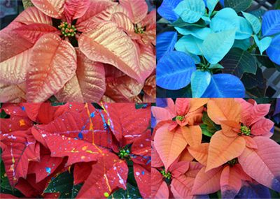 paintedp poinsettia
