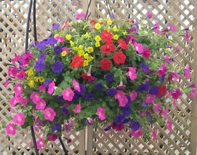 Fundraising spring bedding perennials petunia hanging basket cascading mix mightylinksfo