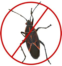 How To - Controlling Pests - Boxelder Bug Control