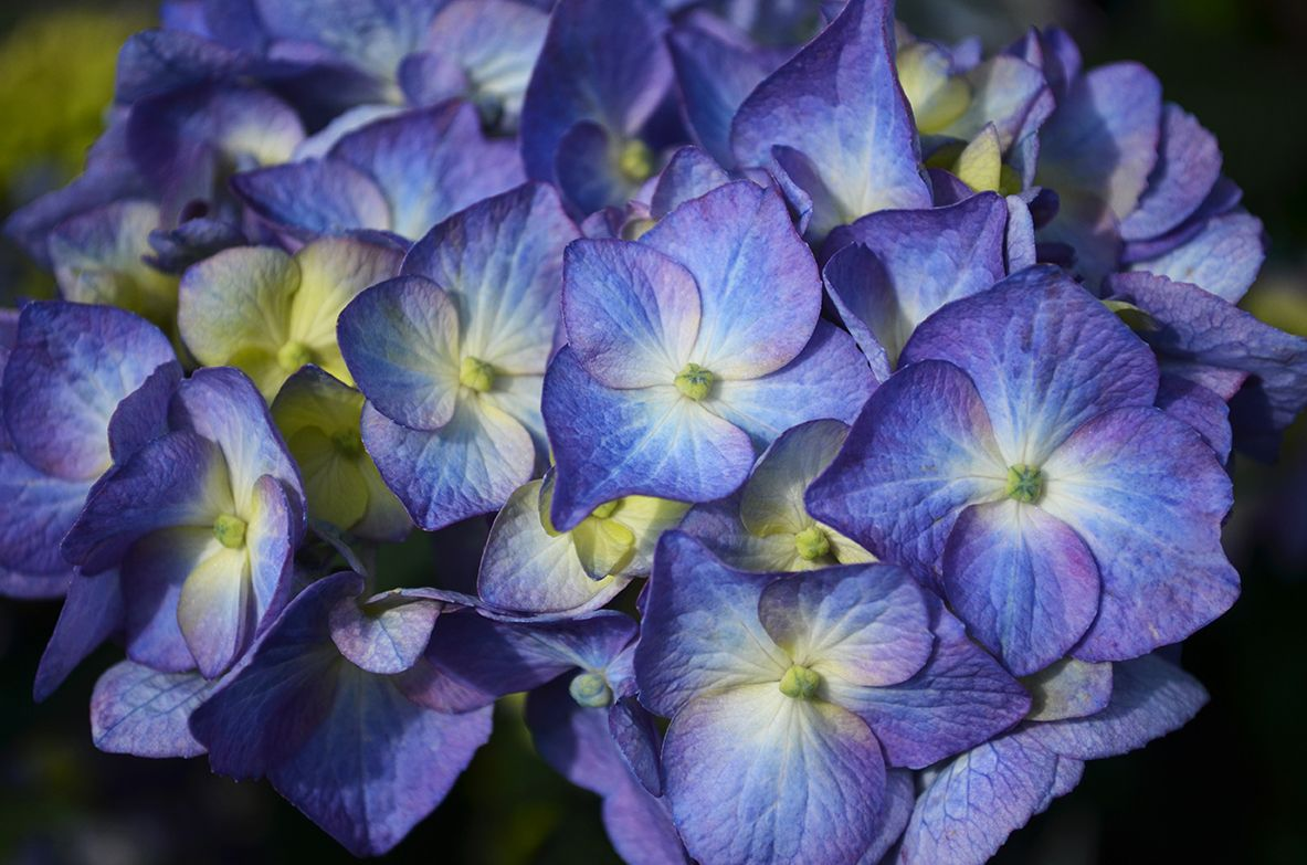 How To - Growing Shrubs and Vines - All About Hydrangeas